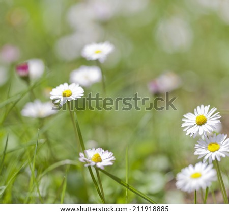 Closeup of beautiful fresh daisy meadow, abstract floral background, soft focus, many white little wildflowers, summer season  - stock photo