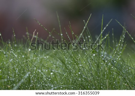 Closeup of beautiful fresh thick lush green young grass with many crystal rain drops outdoor on natural background copyspace, horizontal picture - stock photo