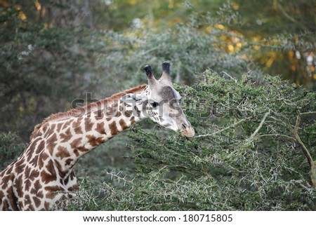 Closeup of beautiful Giraffe - stock photo