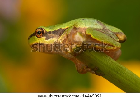 Closeup of beautiful green tree-frog