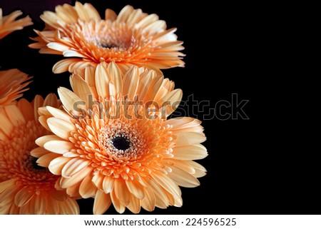 Closeup of beautiful orange gerber on black background - stock photo