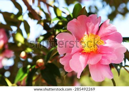 Closeup of beautiful pink camellia flower - stock photo