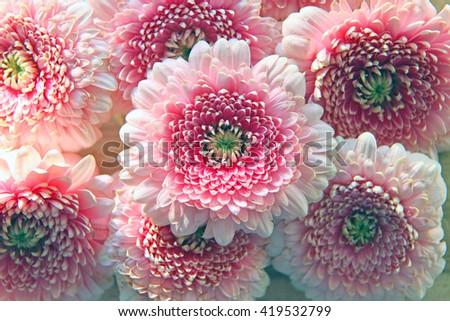 Closeup of beautiful pink Gerber flowers - stock photo