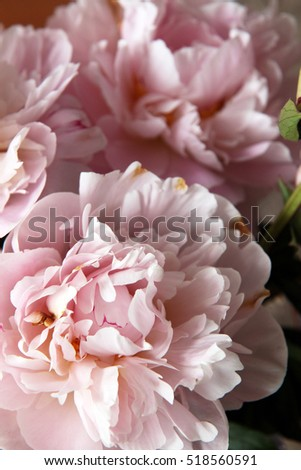 Closeup of beautiful pink Peonie flower on light background