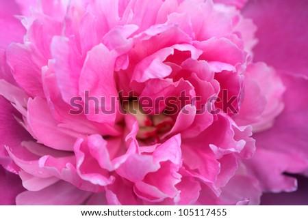 Closeup of beautiful pink peony. Nice background - stock photo