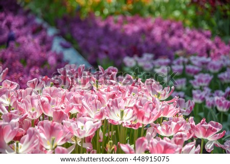 closeup of beautiful Pink-white tulips flower in the garden - can use for natural background - stock photo