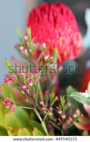 Closeup of beautiful Protea flowers - stock photo
