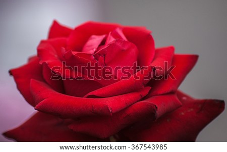 closeup of Beautiful red rose in sweet and soft color blooming in the garden