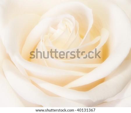 Closeup of beautiful rose bud blooming - stock photo