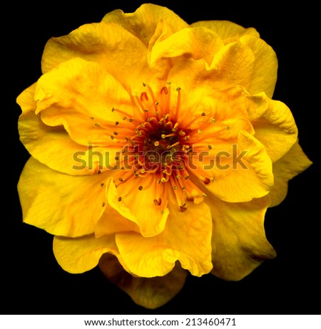 closeup of beautiful unique yellow cherry blossom flower - stock photo