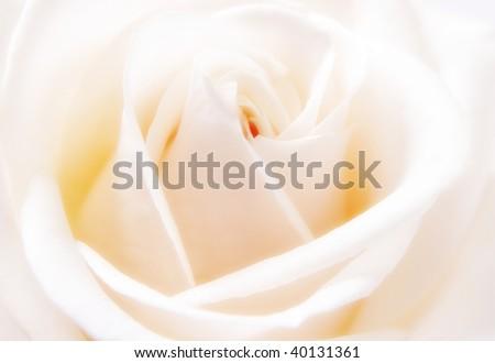Closeup of beautiful white rose bloom - stock photo