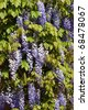 closeup of beautiful wisteria (glycine) branches - stock photo
