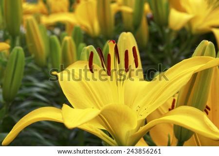 Closeup of beautiful yellow lily - stock photo