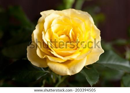 closeup of beautiful yellow rose - stock photo