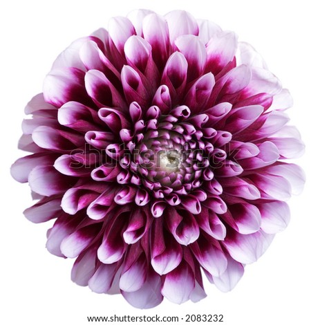 Closeup of beauty aster on white background - stock photo