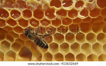 Closeup of bee on honeycomb with raw honey.