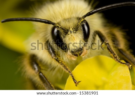Closeup of bee with pollen on its head - stock photo