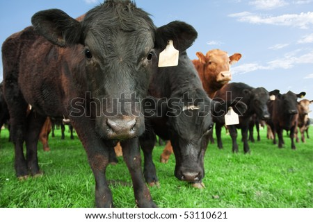 Closeup of beef cow with other cattle in background - stock photo