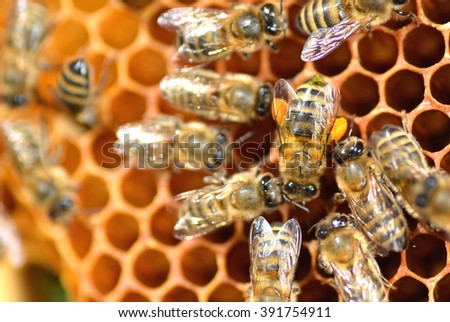 closeup of bees on honeycomb in apiary - stock photo