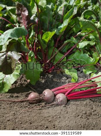 Closeup of beetroots (Beta vulgaris) crop over growing vegetables background - stock photo