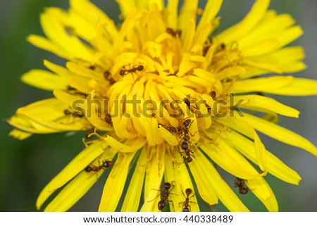 Closeup of big brown ants feeding on pollens of Common Dandelion flower in yellow (Taraxacum officinale) during summer in Austria, Europe - stock photo