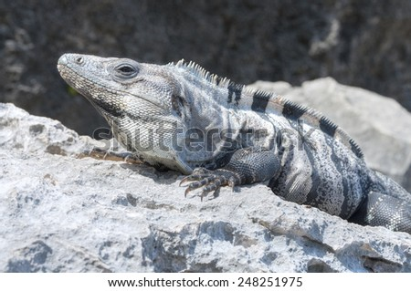 Closeup of big iguana sunbathing on gray limestone rock on beach in Tulum, Mexico