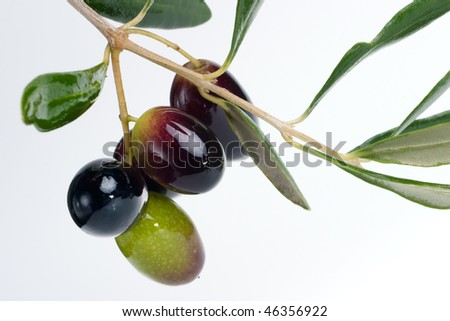 Closeup of black and green olives branch over white background