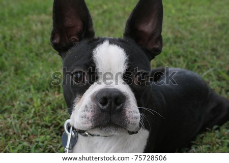 closeup of black and white Boston Terrier Dog laying in green grass looking at camera
