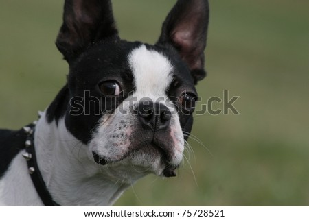 closeup of black and white Boston Terrier Dog looking alert at camera