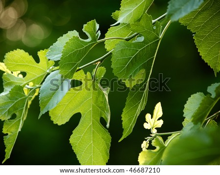 closeup of black mulberry branch with fresh leaves - stock photo