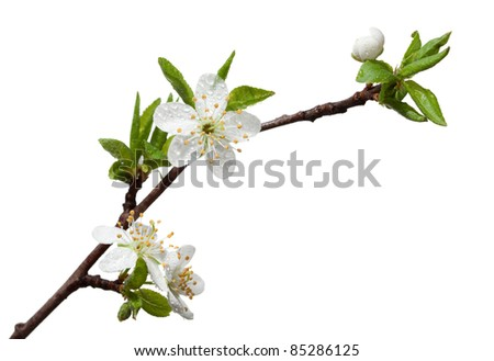 Closeup of blooming apple twig covered by water drops isolated on white - stock photo