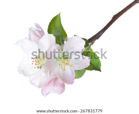 Closeup of blooming apple twig  isolated on white. Focus on near flower. - stock photo