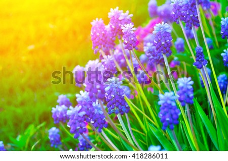 Closeup of blooming spring flowers - muscari. Spring landscape, natural floral background. - stock photo