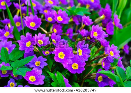 Closeup of blooming spring flowers - Primula juliae, also known as Julias primrose or purple primrose. Spring floral landscape, natural floral background. - stock photo