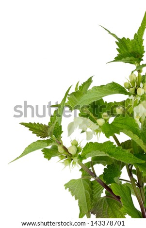 Closeup of blooming stinging nettle over white background - stock photo