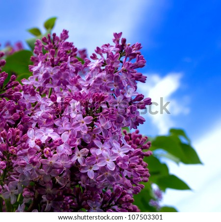 Closeup of blossomed lilac flower bushes against blue sky - stock photo
