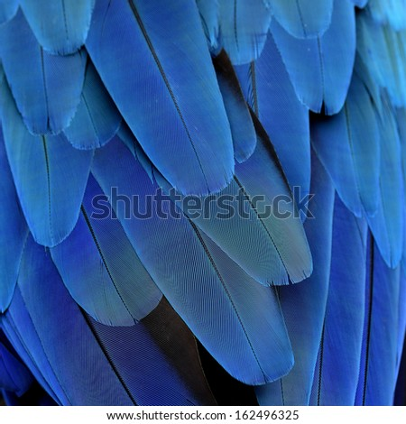 Closeup of Blue and Gold Macaw Feathers for texture and design work - stock photo