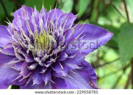 Closeup of blue clematis - stock photo