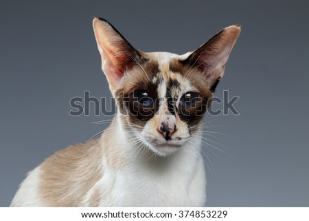 Closeup of Blue Eyed Oriental Shorthair looking at camera on white background