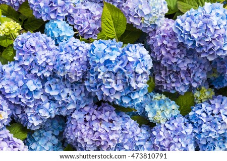 Closeup of blue hydrangea (Hydrangea macrophylla) in a garden.