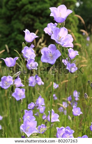 Closeup of bluebell flowers on summer meadow , shallow DOF - stock photo