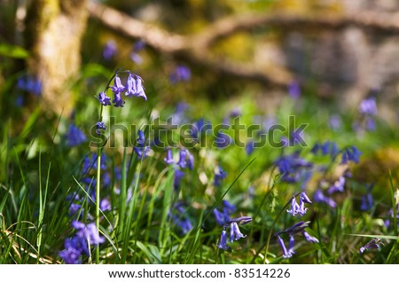 Closeup of bluebells in an ancient wood in spring. Photo has short depth of field. - stock photo