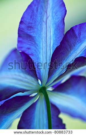 Closeup of bright blue Clematis Flower with shallow DOF