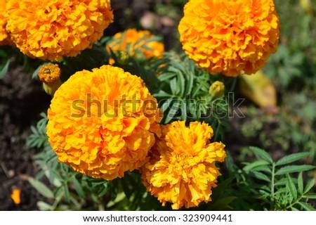 Closeup of bright orange marigolds - stock photo