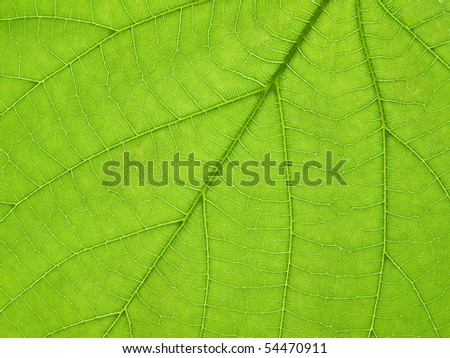 closeup of Broad Leaved Lime (  Tilia platyphyllos ) leaf - stock photo