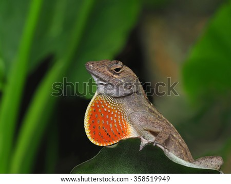 Closeup of Brown Anole With Throat Fan Expanded in Display