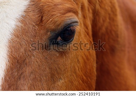Closeup of brown horses eye with lashes, brown and white coat. - stock photo