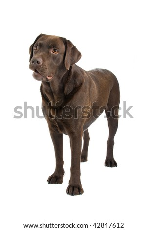 Closeup of brown labrador retriever dog isolated on white background.