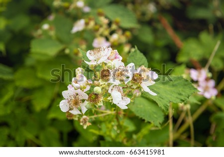 Closeup of budding and pale pink blossoming blackberry flowers in the late spring season. The photo is taken in a Dutch nature reserve.