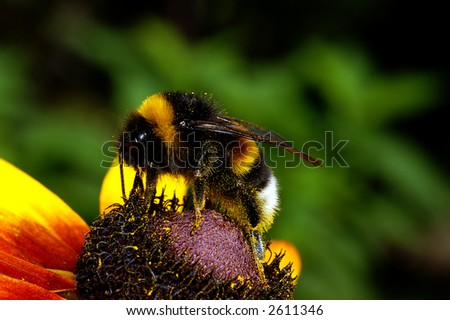 closeup of Bumble-bee sitting on the flower